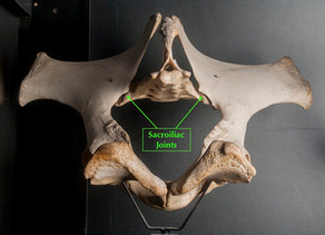 A Pain in the Butt!  Equine Sacroiliac Disease in Horses