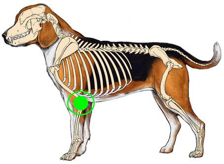 Spotlight on: Canine Elbow Dysplasia (Developmental Elbow Disease)