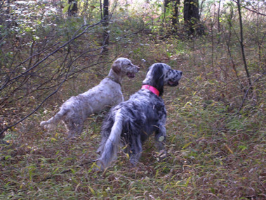 Sugar Creek English Setters