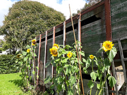 Sunflowers next to the old horse box