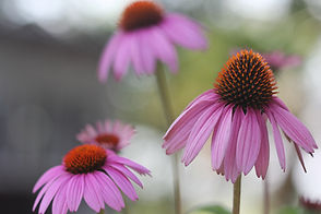 101_purple_coneflower.jpg