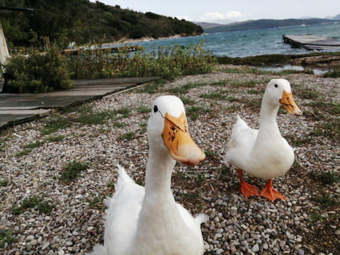 San Stefanos ducks