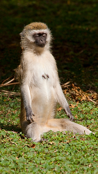 monkey meditating.png