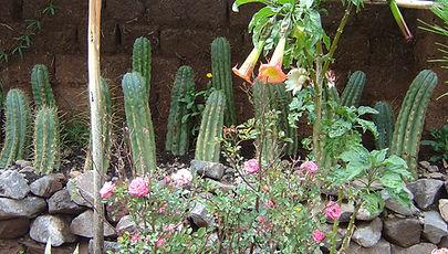 Stephen Shaw and San Pedro cactuses, Peru