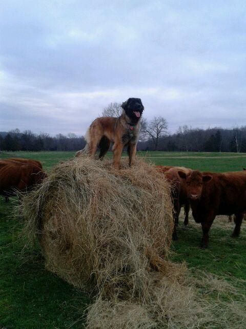 farm dog Emee