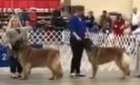 AKC Show in Fort Worth