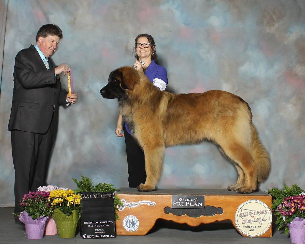 Oskar took Best of Breed at the Kansas City AKC show today under judge Charles Olvis earning his first AKC point at 1yr of age.  Pam did a wonderful job showing him and he was a complete gentleman.