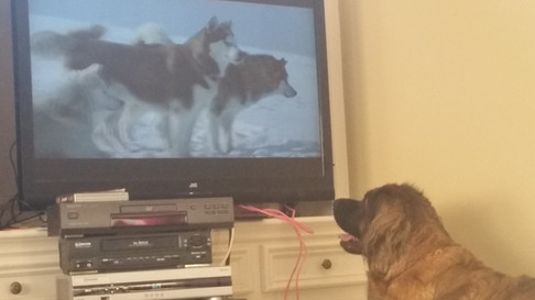 Reba LOVES to watch animals on tv