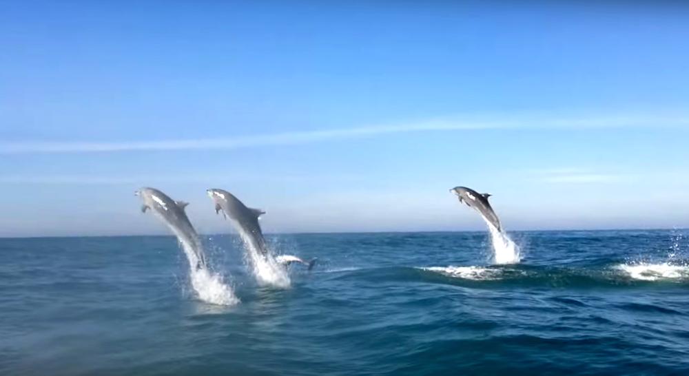 Resultado de imagen para delfines saltan en la baia dos golfinhos celso ramos