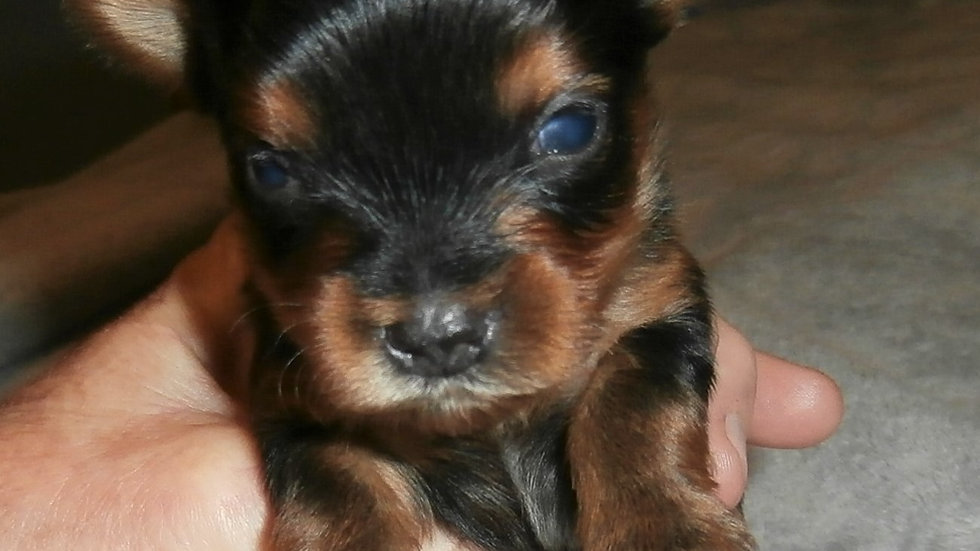 I am sold out of Yorkies for now. I will have a new litter this summer.
