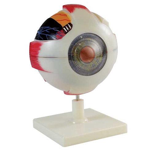 Human Eye Model - 3 x Enlarged