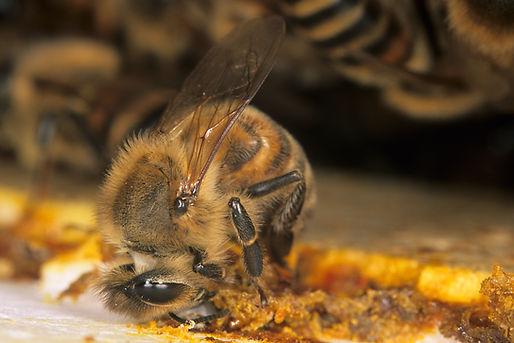 ape raccoglie propoli