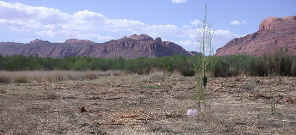 cottonwood sapling.jpg