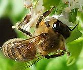 Kens Basil Bee.jpg