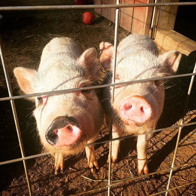 Those snouts though!! 💜🐽💜 Frankie and