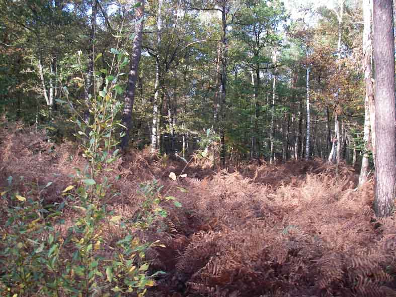 Bruyères sauvages en forêt