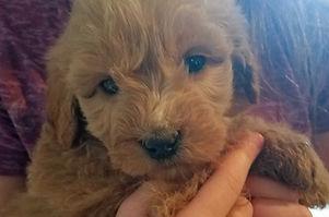 koda puppy Jan 2017.jpg