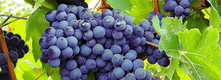corbieres-grapes.jpg