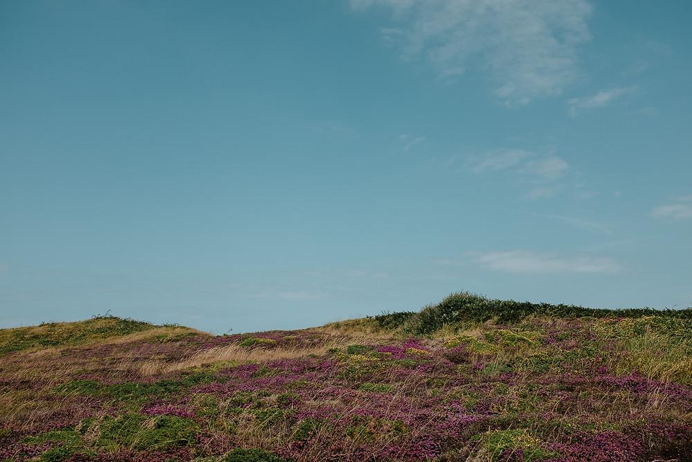 champs de bruyère et d'ajoncs en Bretagne