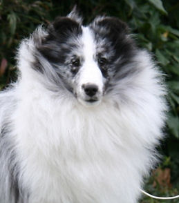 GCH BearCreek IvanLee Cornerstone, Shetland Sheepdogs in Oregon