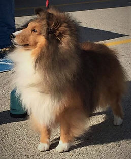 IvanLee Tradition, Championship Sheltie Breeders in Oregon
