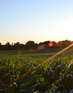 A field of crops at sunset for West Virginia agriculture