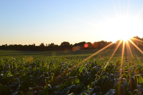 corn field with sun beams surrounded by trees in West Virginia
