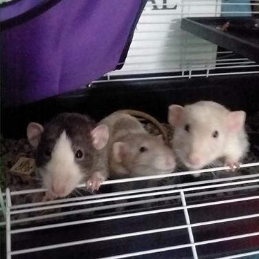 RAT TRIO!