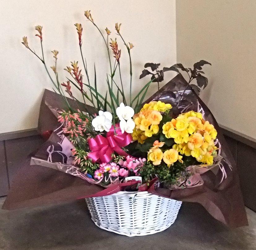 ミディ胡蝶蘭の寄鉢