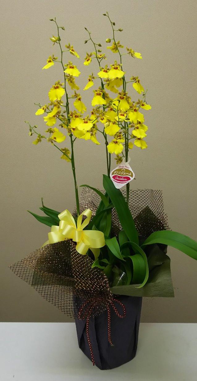 オンシジュームの花鉢
