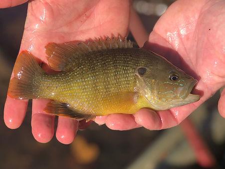 Green Sunfish.JPG