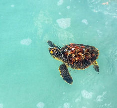 From corals to rescuing Hawksbill turtle for Scottish marine biologist Arabella Willing