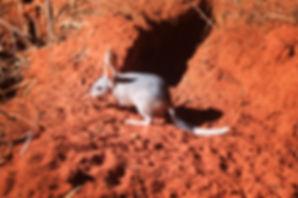 Bilby captive breeding project, Kimberley