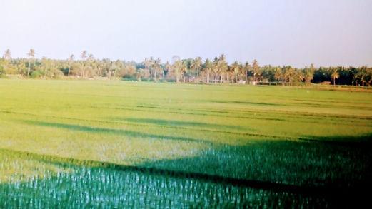 Paddy fields near Varthurkere 1996.jpg