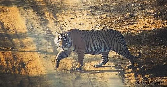 Bengal Tiger @ Sariska.jpg