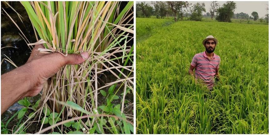 RiceCrop MayurLothe.jpeg