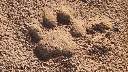 Pugmark male tiger.jpg