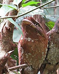 Sri Lanka Frogmouth M & F.jpg