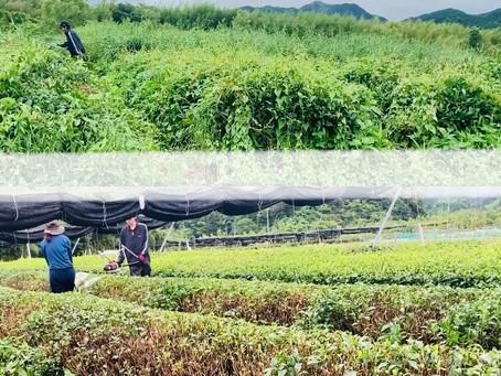 耕作放棄茶園と慣行茶園の作業比較