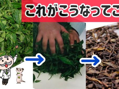 緑茶と紅茶って何が違うの