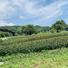 茶園管理-刈り落とし