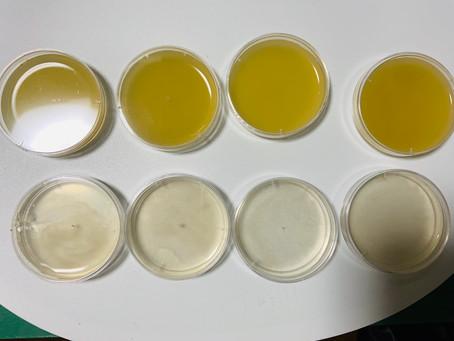 お茶で抗菌実験してみました。