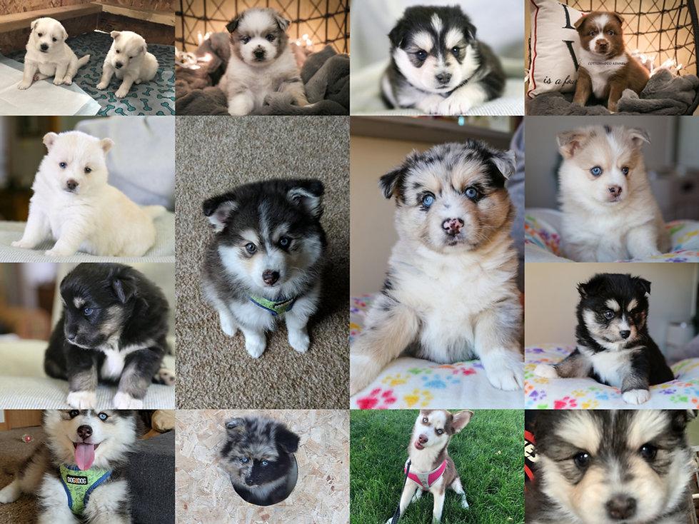 Pomsky puppies.jpg