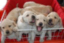 basket full of cute puppies