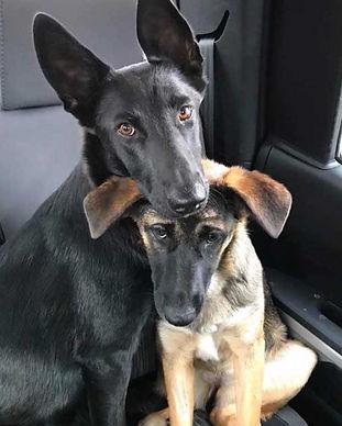 german_shepherds_adopted_together_hugging