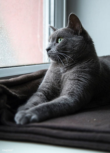beautiful grey cat relaxing in front of window