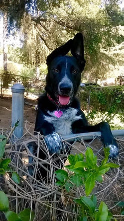 happy dog with paws on fence and ears up