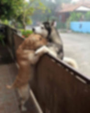 Two dogs in love, hugging with fence between them
