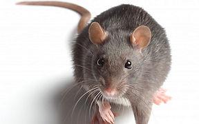RAT PHOTO.jpg