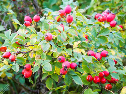 Descubre: Aceite Vegetal Rosa de Mosqueta